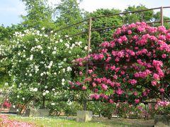 2014春、東山植物園の薔薇(1/8):5月24日(1):地下鉄星丘駅から、東山植物園の入口まで、バラ園到着