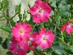 2014春、東山植物園の薔薇(2/8):5月24日(2):ロージー・カーペット、ピンク・メイディランド、ラ・セビリアーナ、ケアフリー・ワンダー