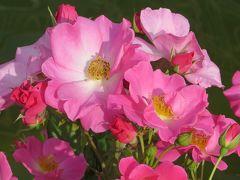 2014春、東山植物園の薔薇(3/8):5月24日(3):楽園、ゴールドマリー84、カウンティ・フェア、パスカリ、ほのか、ピエール・ドゥ・ロンサール