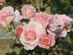 2014春、東山植物園の薔薇(4/8):5月24日(4):オレンジ・バニー、桜貝、ジャルダン・ドゥ・フランス、プリンセス・アイコ