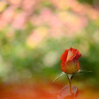 一面がバラの園♪美しすぎて感動!姫路ばら園