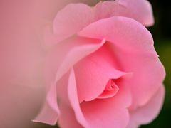 あでやかな薔薇の色彩と香りに酔いしれる ~井頭公園ローズフェスタ~