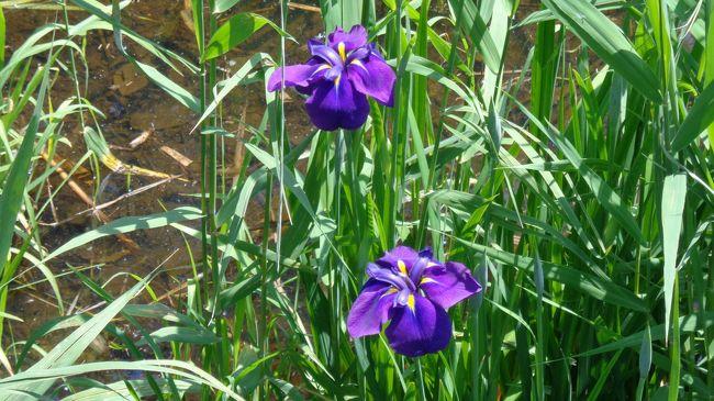 前日に訪れた館林の花菖蒲園はまだほとんど開花していなかったので、リベンジを期して伊勢崎市にある「あずま水生植物公園」に行ってきました。<br />近くには以前から行きたいと思っていた「小泉稲荷神社」があったので、こちらも参拝してきました。<br /><br /><br />【行程】<br /><br />・あずま水生植物公園<br />↓<br />・小泉稲荷神社