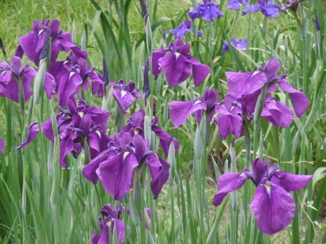 """百年公園の菖蒲園に行ってきました。<br /><br />梅雨空の一日でしたがぽつぽつと少し雨に降られただけで・・・<br /><br />菖蒲の花を楽しむことができました。<br /><br />大人の手のひらほどもあろうかというくらいの大きなお花が<br /><br />咲いていましたが、蕾もちらほら・・・<br /><br />""""ちょっと早いですか?""""とカメラ片手のおじいちゃまに声を<br /><br />かけると・・・<br /><br />""""いや。今日が最高。お天気も申し分ないし・・・(小雨が似合うということで)<br /><br />蕾がある状態がベストだよ・・""""と言われる・・・<br /><br />さすが!カメラおじいちゃまは精通(*^_^*)"""