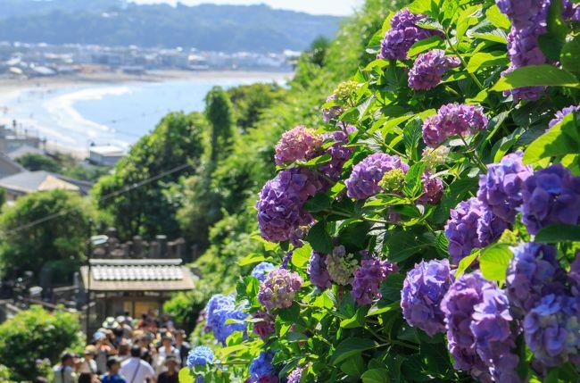 前回の明月院の紫陽花に続き、今回本命としていた長谷寺の紫陽花を鑑賞する旅に出ました。<br />偶然にも前回明月院に行った日のほぼ同じ時間に4トラメンバーのこどもの隠れ家さんも明月院に行っていたので、長谷寺の混み具合の情報も聞けました。<br />それで、今回長谷寺で並ぶのは嫌なので朝の7:30に長谷寺に到着できるように自宅を出発し長谷寺→成就院→江の島へと小田急の江の島鎌倉フリーパスを購入し、ぶらり旅へ<br /><br />