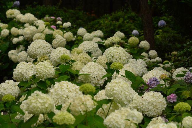 横浜八景島シーパラダイス あじさい祭りに、本日行ってきましたので、旅行記の順番を変更してアップします。<br /><br />今日、朝から梅雨らしく雨。<br />でも、お昼前に、雨が上がりそうでしたので、私一人で、ちょっと八景島へ。<br /><br />もう見頃を過ぎてしまった紫陽花もありましたが、これから咲き始める紫陽花もあり、駆け足でしたが、堪能しました・・・、雨が降って来てしまいましたが ^^;)<br /><br />では、その様子です。<br />