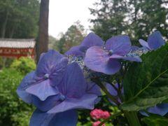 京都三室戸寺 紫陽花を見に行ったら パワースポットだった!