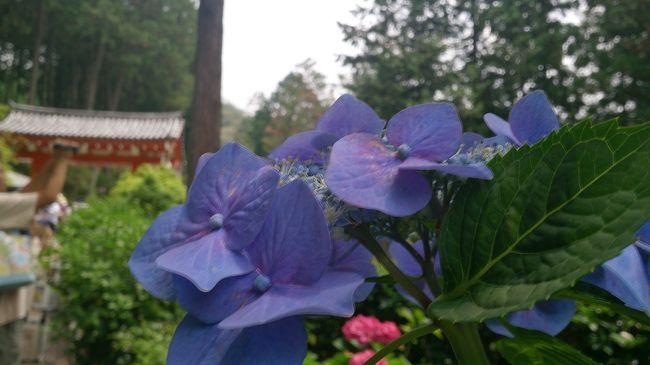 京都・宇治の三室戸寺に<br /><br />紫陽花を見に行ったら <br /><br />蓮のお花も見れて<br /><br />昇運がつくというパワースポットも体験できました<br /><br />運気アップした気分〜