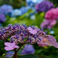 明石花めぐり・住吉神社のあじさいと観音寺の沙羅の花