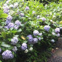 高幡不動尊へ紫陽花観賞。