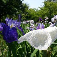 碧南油ヶ淵花しょうぶまつり 近づく夏の足音を感じて…