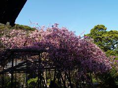 鎌倉の海棠巡り