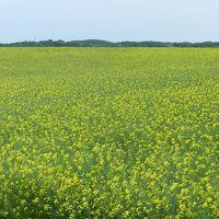 これは見事!一面に咲く菜の花@安平町◆2014年6月・北海道の花とグルメな旅≪その2≫