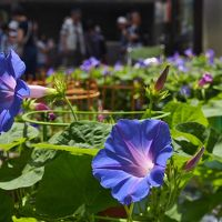 江戸の夏の風物詩 / 入谷朝顔市