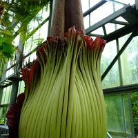高さ2m72?、日本新記録 世界最大の花 ショクダイオオコンニャク咲きました 筑波実験植物園