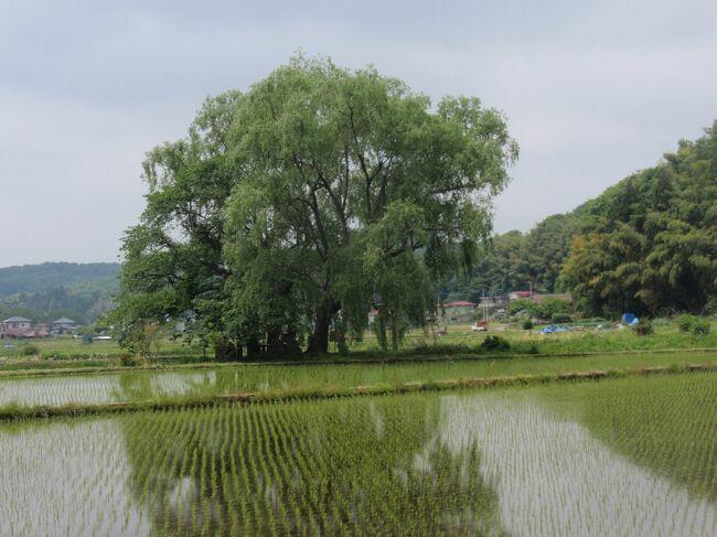 芦野宿の水田の真ん中にある遊行柳。ここには松尾芭蕉を始め、多くの旅人が立寄り、詩の一句を読んでいます。<br />今回は、芦野ICより芦野宿に入って来ました。ここからウォーク開始です。
