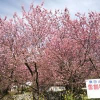 高知旅行記 その7 ~桑田山雪割桜~