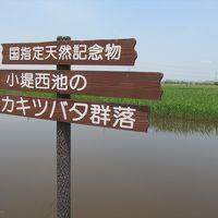 国の天然記念物 小堤西池のカキツバタ群落(日本三大カキツバタ自生地)