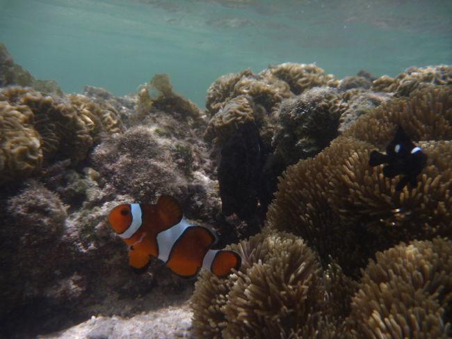 この旅行記では、<br />2014.7.12に宮古島の新城海岸で<br />シュノーケルをした時に撮影した写真集です。<br /><br />カクレクマノミを沢山載せているので<br />ニモ特集と言ってもいいかな、<br /><br />気になる方は、ご覧あれ!
