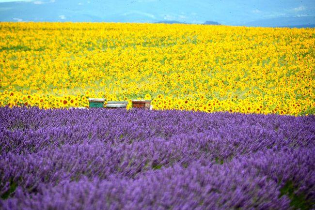 ラヴェンダー畑を見るのが夢だった母。<br />そんな母の願いは叶わないまま天国へ逝ってしまった。<br />あれから早一年が過ぎ、私はその想いを胸に南仏へ向かった。<br /><br />「満開だよ、見える?香りは届いてる?」<br />紫の海が広がるプロヴァンスの大地を目にし、そこへ足を踏み入れるたびにそう天に問いかけてみた。<br /><br />ずっと苦労のしっぱなしだった母。<br />あまり母親っ子ではなかった私は、憎まれ口ばかりきいて全然親孝行も出来ず...今更後悔しても始まらないけど、ごめんね。<br />ただただ孫の顔を見せてあげられたことだけは娘として孝行出来たかな?って思ってる。<br /><br />果たせなかった母の夢を叶えるために、さぁ旅に出よう。<br /><br />なぁんて、ホントは自分が南仏に行きたかっただけなんだよ(笑)<br />まだシチリアの旅行記も半分しか出来ていないけど、とりあえずラヴェンダーの写真だけでもUPすることにした。<br />季節的なものもあるけど、母の命日もあったので。<br /><br />※勝手につぶやく旅行記で写真もほぼラヴェンダーではありますが、お付き合い頂ければ幸いです^^;