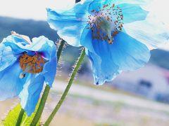 ヒマラヤの青い芥子(青いケシ)に会いたい・・・♪