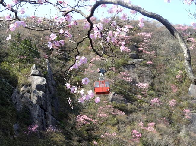 春はパステルカラーの季節です(たぶん)。新年度を迎え生活も落ち着いてきた頃、明るい気分で今年の山始めをしてみたい。でも、わざわざ雪の残る北アルプスまで遠征する必要はありません。春の低山には、花の鑑賞という楽しみ方があるからです。そこで、私が試行錯誤の末に編み出した東海地方の花トレックを3つほど紹介したいと思います。おみゃ~さんの人生も、パステル色に染めたるがや!<br /><br /><br />** 情報は、2014年5月のもの<br /><br />==東海三県花トレック シリーズ一覧==<br />①御在所岳 アカヤシオ編 &lt;==<br />http://4travel.jp/travelogue/10921201<br />②茶臼山 芝桜編 (執筆予定)<br />③恵那山 花桃編 (執筆予定)<br />