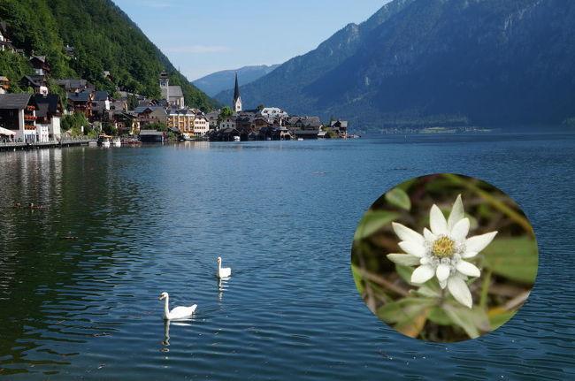 Edelweiss, edelweiss,<br />every morning you greet me.<br />Small and white, clean and bright,<br />you look happy to meet me.<br />Blossom of snow, may you bloom and grow,<br />bloom and grow forever.<br />Edelweiss, edelweiss,<br />bless my homeland forever.<br /><br />エーデルワイス エーデルワイス<br />きみは毎朝挨拶してくれるね<br />ちっちゃくて、白く清らかで、美しい花<br />きみも私に合えるのが嬉しそうだね<br />降りそそぐ雪が、きみを咲かせ育てる<br />ずっと永遠に咲き続けられるように<br />エーデルワイス エーデルワイス<br />我が故郷にとわの幸を<br /><br />映画「サウンド・オブ・ミュージック」では、ナチスに出頭を命令され、亡命を決意したオーストリア海軍・トラップ大佐が、ドイツに併合され消えゆく祖国オーストリアを想い、オーストリアの象徴としてエーデルワイスをめでて歌った曲です。映画では、会場となったフェルゼンライトシューレに陣取るナチスに荷担するオーストリア人たちも一緒になって合唱する姿が感動的でしたね。<br /><br />今日は、ザルツカンマーグート及びザルツブルクの観光。良い天候に恵まれて最高の一日となりました。ハルシュタットもご覧のとおり。なお、窓中の写真は2008年、礼文島で撮影したレブンウスユキソウですが、ほぼエーデルワイスと同じ花です。<br />