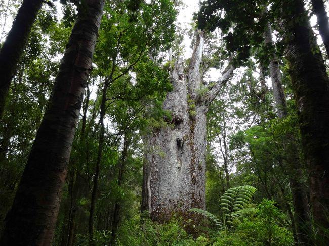 """ニュージーランドには「カウリ」という古くて大きい独特の木があります。<br />樹齢1000年以上のものも多く、高さは50mに及ぶものもあります。<br /><br />ガイドさんが、<br />「見慣れるとすぐにカウリを見分けられるようになる」と言っていましたが、<br />それもそのはず。<br />まっすぐの幹には枝がなく、見上げる高さになりやっと枝が生えています。<br /><br />「森の父」を意味する""""テマツアナヘレ""""という古木は神々しく、<br />見つめていると何かを語りかけてきている感触になりました。<br /><br /><br />この日もオークランドからの日帰りツアー、北に車で3時間です。<br /><br /><br />-------<br />12/28 オークランド<br />12/29 ホビット村、オークランド<br />12/30 カウリの森(屋久杉のような古い木の森)<br />12/31 ワイヘキ島(オークランドから船で40分程度、ワイナリーの島)<br />1/1  ワイトモ観光(土ボタルがいる洞窟散策)"""
