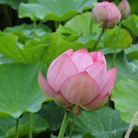 ハスの里「たての香苑」と、またまた蔵王へ音楽祭を見に!