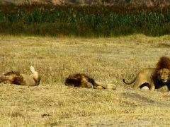 サファリ三昧のケニア&タンザニアの旅Day3@目指せビッグファイブ達成!ンゴロンゴロ保全地域で1日サファリ後編