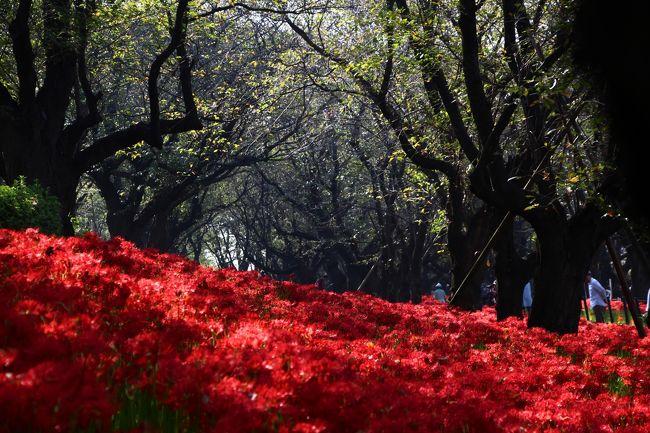 幸手市の権現堂桜堤は、春夏秋冬の季節の花を楽しめる場所。<br />春は薄墨色の桜、夏は紫の紫陽花、冬は白い水仙、そして、秋は深紅の曼珠沙華(彼岸花)が堤を覆い尽くす。<br /><br />実は昨年も、同じ時期に曼珠沙華に会うためにココ権現堂へ足を運んでいる。<br />でも昨年は読みが甘く、堤の深紅の絨毯はまだ3分咲き〜8分咲き程度。<br />今年こそは…とリベンジを誓っていた。<br /><br />しかし、秋と云えば台風のシーズン。<br />先週には台風16号が発生し、お彼岸には関東地方直撃か…との情報も。<br /><br />台風の動向を気にしつつ迎えた、お彼岸の日。<br />天気は朝から快晴。<br />早朝に、ひとり、そっと家を抜け出した。<br />