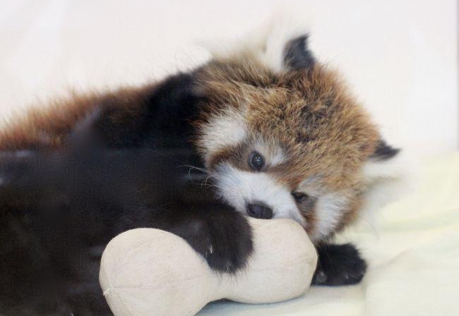 優雅に3泊2日の南紀白浜アドベンチャーワールド三昧(5)パンダ特集:人工哺育のレッサーパンダの赤ちゃん一人遊びがちょっと切ない&入園前1時間待ちで勝ち取れた1日15人限定ジャイアントパンダ・バックヤードツアー