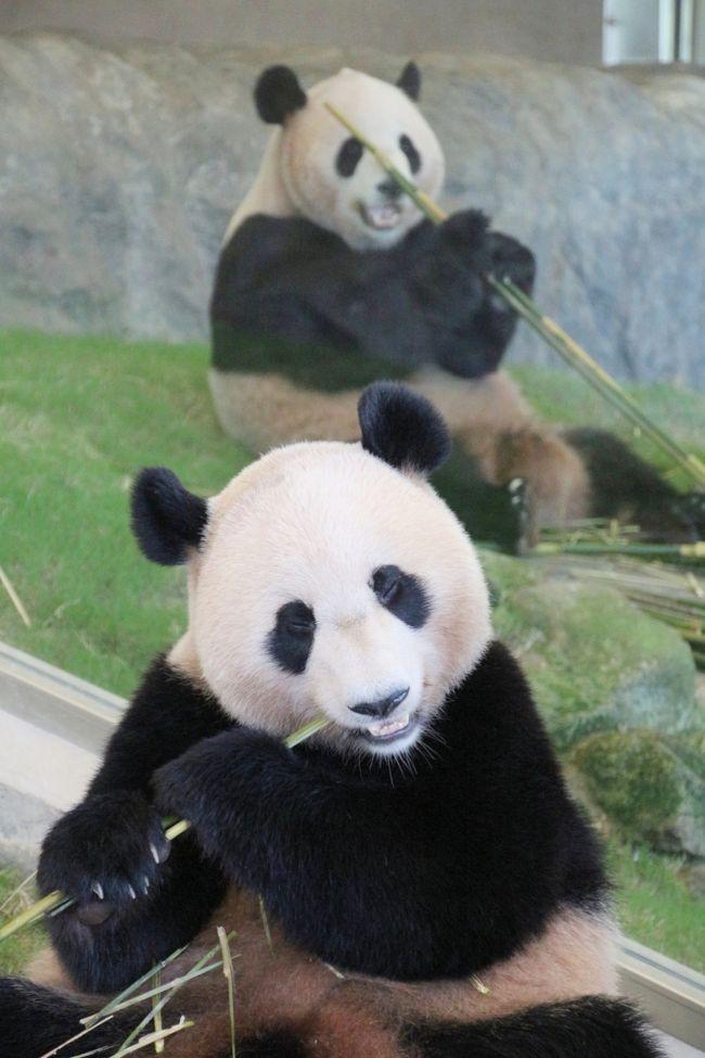 パンダといえばレッサーパンダの方が先だったのに、上野動物園もアドベンチャーワールドも、ジャイアントパンダばっかり力を入れているんだから!<br />と、レッサーパンダ・ファンとしてはもどかしく思ったときもありました。<br />いえ、決してレッサーパンダほか、ジャイアントパンダ以外の動物たちがないがしろにされているという意味ではなく、ちゃんと大切に飼育されています。あくまで比較論ですし、ソフト面ではなく、施設やグッズなどのハード面の話です。<br />ジャイアントパンダの方が集客効果が高いのもよく分かりますから。<br /><br />それに、やっぱりジャイアントパンダは可愛いですね。<br />大柄な私よりもさらに大きくても。<br />アドベンチャーワールドのパンダ飼育の大変さと思い出をつづつた「パンダのひみつ」という本を1日目に買って読んだので、なおさら。<br />動物のことがよく分かると、愛着がまして、見学にも熱が入るものです。<br /><br />ジャイアントパンダたちは、飼育員さんによれば、外見に個性があって見分けがつけられるようです───顔や耳の形などから。<br />でも、レッサーパンダほど顔の模様にバラエティがないので、私には見分けることはできませんでした。<br />しかし、アドベンチャーワールドでは、パンダだけはちゃんと名札があるので、目の前にいる子が誰か分かった上で見学することができました。<br /><br />2才の優浜ちゃんは、大人と比べるとまだ少し小さいのですが、単体で会うと大人パンダと遜色ないくらいずいぶん大きく見えました。<br />はじめにパンダラブの屋内展示場で4才の陽浜ちゃんと2才の優浜ちゃんが隣り合わせのところを見学できましたが、そのときの動きやしぐさからすると、陽浜ちゃんの方がチャーミングで、優浜ちゃんの方がちょっとおやじっぽく見えました(苦笑)。<br />でも、2日目のバックヤードツアーで間近に見た優浜ちゃんは、まだまだ子供っぽく見えて、とても可愛らしかったです。<br /><br />次にブリーディングセンターの屋内展示場で、永明パパと良浜ママに会うことができました。<br />このペアには、2日目に屋外展示場でも会えましたが、動きやしぐさからすると、良浜ママの方がどっしりしていて、永明パパの方が可愛らしいかんじがしました。<br /><br />また、陽浜ちゃんと海浜くんが隣り合わせだったときは、強いて言うと海浜くんの方が、しぐさなどがより可愛らしく見えました。<br /><br />動物界では、メスの気を引くためにオスの方が美しかったり、メスより体が小さくて可愛いかったりすることはよくあります。<br />ひょっとしたらパンダもそうなのかしら、と思ってしまいました(笑)。<br /><br /><念願叶ったアドベンチャーワールド行きのための3泊2日の南紀白浜の旅行記のシリーズ構成><br />□(1)アクセス編&宿泊編:羽田空港から南紀白浜空港へ&コガノイベイホテルと姉妹ホテルの古賀の井<br />□(2)ちょっぴりグルメ編&たっぷり買ったおみやげ編:とれとれ亭の海鮮夕食バイキングとホテルの朝食バイキング&南紀白浜・アドベンチャーワールドみやげ<br />□(3)平日狙いで2日通った初アドベンチャーワールドいろいろ&エントランスドームの動物たちやシロクマの子とさまざまなペンギンたち<br />□(4)レッサーパンダ特集:自然哺育のレッサーパンダの赤ちゃん!〜ライラちゃん母子&シンシンくん&后ちゃん<br />□(5)パンダ特集:人工哺育のレッサーパンダの赤ちゃん一人遊びがちょっと切ない&入園前1時間待ちで勝ち取れた1日15人限定ジャイアントパンダ・バックヤードツアー<br />■(6)ジャイアントパンダ特集:永明パパ・良浜ママ・双子の海浜と陽浜・今は末っ子の優浜<br />□(7)動物たちの可愛いアトラクション:思わず笑いがこみ上がるアニマルアクション・迫力のマリンライブ・よちよちペンギンパレード・くるくる楽しいラッコのフィーディング<br />□(8)ケニア号とウォーキングによるサファリワールドめぐり<br /><br />アドベンチャーワールド公式サイト<br />http://aws-s.com/<br /><br /><タイムメモ(アドベンチャーワールド編)><br />1日目:2014年9月18日(木)<br />09:30 タクシーでアドベンチャーワールドへ<br />09:40〜10:30 レッサーパンダのライラちゃんと自然哺育のライラっ娘ちゃん<br />10:40〜11:00 パンダラブの陽浜ちゃんと優浜ちゃん<br />11:05〜11:10 レッ