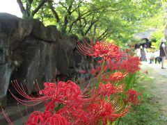 横浜・西方寺の彼岸花
