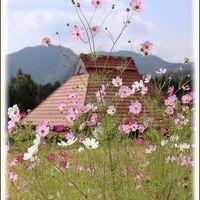 Solitary Journey [1444] 秋の景色を楽しみながら山里の道を縫うように走り抜けて行きました♪<コスモスの花と彼岸花>島根県鹿足郡