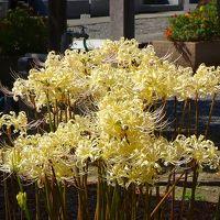 早朝散歩と白い彼岸花を見に北条寺へ