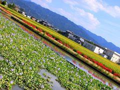 奈良 本薬師寺跡 ホテイアオイ群生~実りの秋と彼岸花
