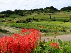 明日香村稲淵地区に咲く彼岸花と案山子ロード。帰りに本薬師寺跡のホテイアオイを見てきました。