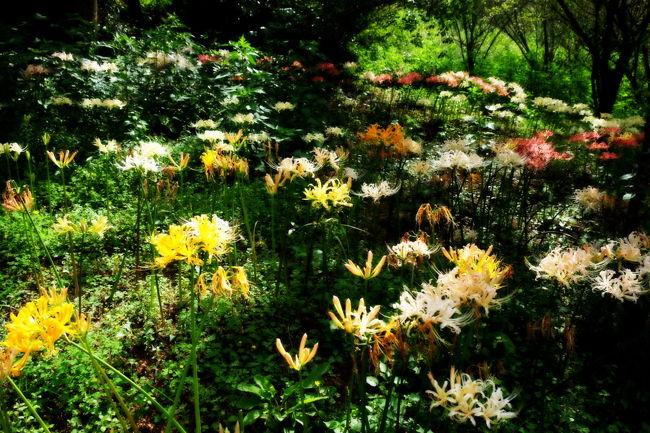 みろく公園に彼岸花が咲いていると聞いて撮ってきました。<br />赤白黄色、色とりどりの彼岸花が素敵でした。<br />