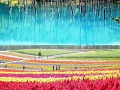 2014.9 日本一早い紅葉&雪山縦走&満開のひまわりと四季を巡る旅④…紅葉、雪山そして青い池、色とりどりの美瑛
