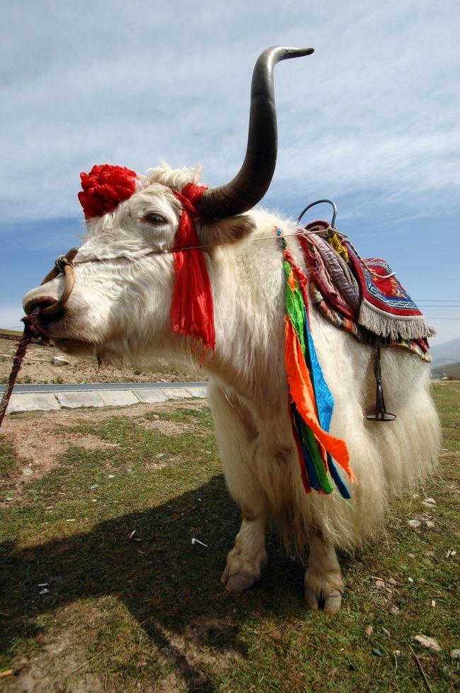 2013年中国新疆放浪記031・青海散策之壱・日月山の青空と牦牛(ヤク)