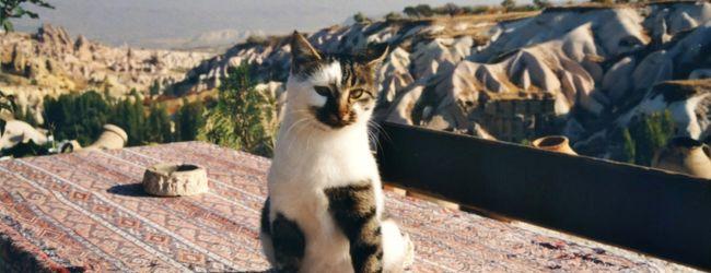 猫のトルコ