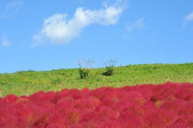 2週続きで台風が関東へ・・・<br /><br />台風一過 青空と赤いコキアの丘<br />これは、とっても綺麗でしょう!<br /><br />で、ひたち海浜公園を訪れました。<br /><br />空は青く澄み渡り・・・<br />その青空の下赤く色づいたコキアと、咲き乱れるコスモスの花・・・<br /><br />大きく胸いっぱいに・・・深呼吸の出来た一日でした。