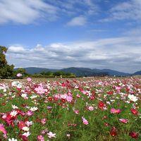 奈良の秋桜風景を見にドライブ旅行!