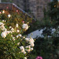 秋バラが見ごろのザ・トレジャーガーデン館林