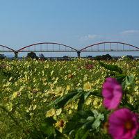 鴻巣市 広大な荒川河川敷に咲くコスモス 強風にあおられて