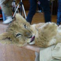 今だけ「ライオンの赤ちゃんイベント」