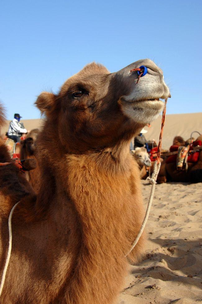 18日の続きです。<br /><br />さて、鳴沙山へ向かった我らが鳴沙駱駝隊は、初めての本格的な沙漠に大感動している広東組を連れて、細かくてサラサラの砂の上を器用に歩く駱駝に乗ってドンドン進みます。<br />山頂の停駱駝場で、眺望を10分ほど楽しんだ後、日が陰り始めた鳴沙山を、一路月牙泉へ向けて進みます。<br /><br />ではこの章では、鳴沙山を存分にご満喫下さい!<br /><br />この駱駝、微笑んでるみたいで可愛いでしょ♪