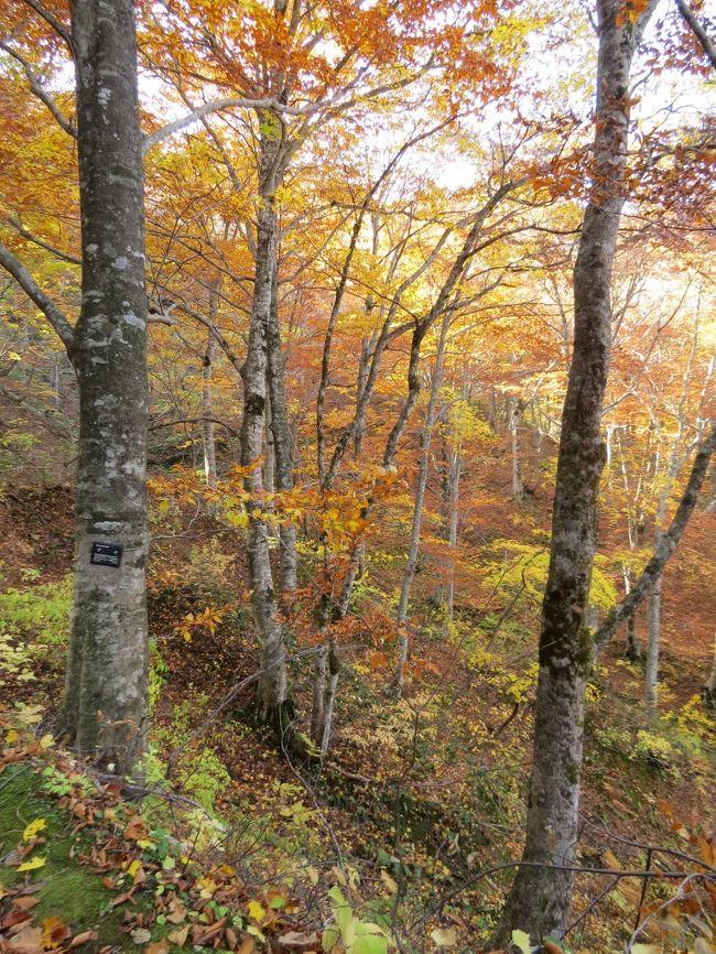 津軽出羽の紅葉・・暗門の滝歩道とブナ林散歩道~マザーツリー~ブナ巨木ふれあいの径をめぐります。
