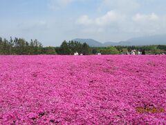 艶やかなピンクの芝桜 西湖と富士山